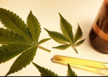Seminário sobre uso medicinal da Cannabis