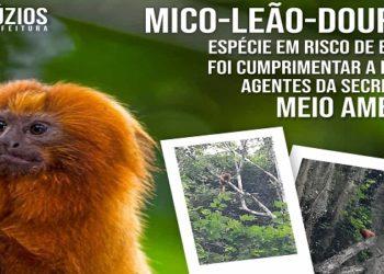 Mico Leão Dourado aparece na Serra das Emerências em Búzios